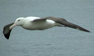 Royal Albatross in flight #1