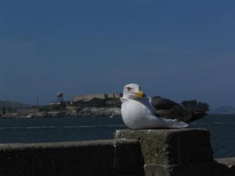 Seagull in the foreground, Alcatraz in the background