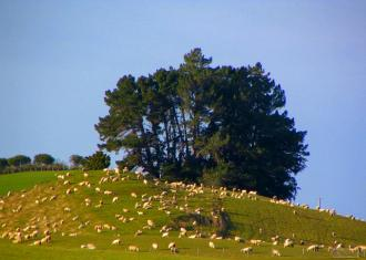 Sheep in the Catlins