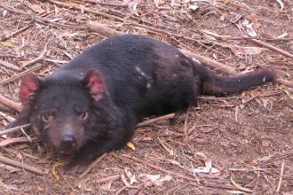 Tasmanian Devil blobbing out after a big feed
