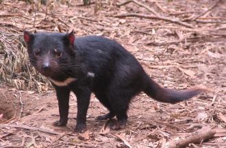 Violent little Tasmanian Devil