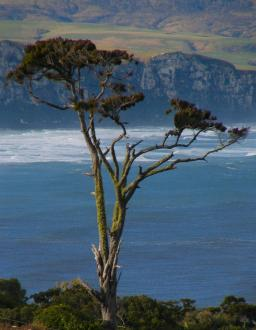 A famoous tree high up on a hill in the Catlins