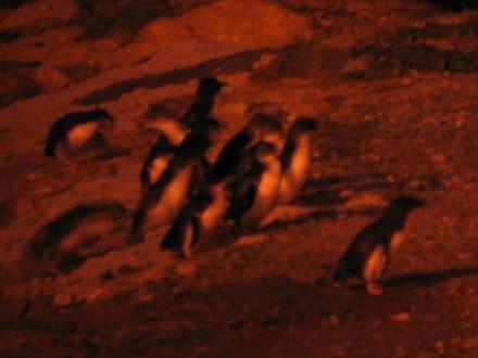 bluepenguins1