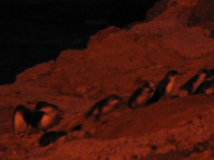 bluepenguins2