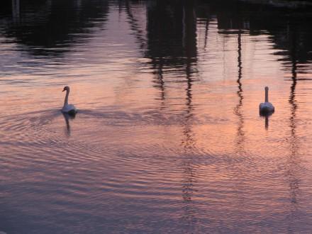 leiden_swans1