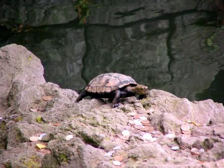 Cute turtle at the Shingon Buddhist temple in Narita, Japan.