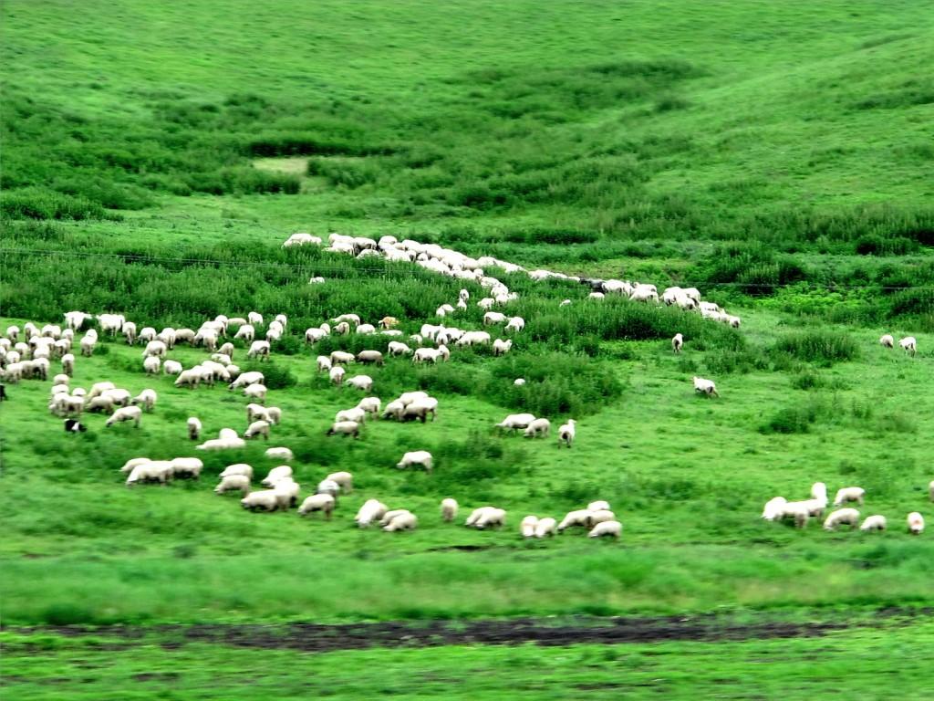 Transylvanian sheep!