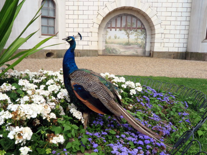 Peacock in front of fake castle