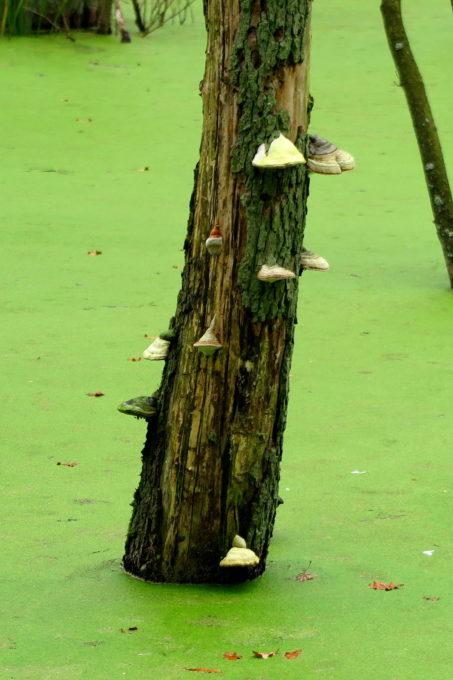 Tree mushrooms in a swamp